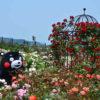 秋に咲き誇るバラを見に行こう「エコパーク水俣」